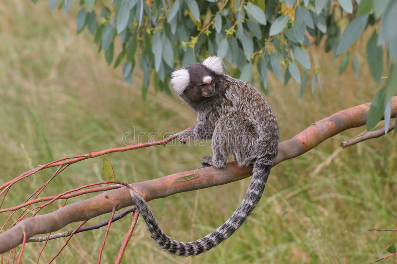 Download Marmoset on branch stock image. Image of eared, branch - 966635