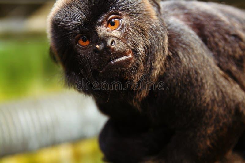 Marmoset de singe photo libre de droits