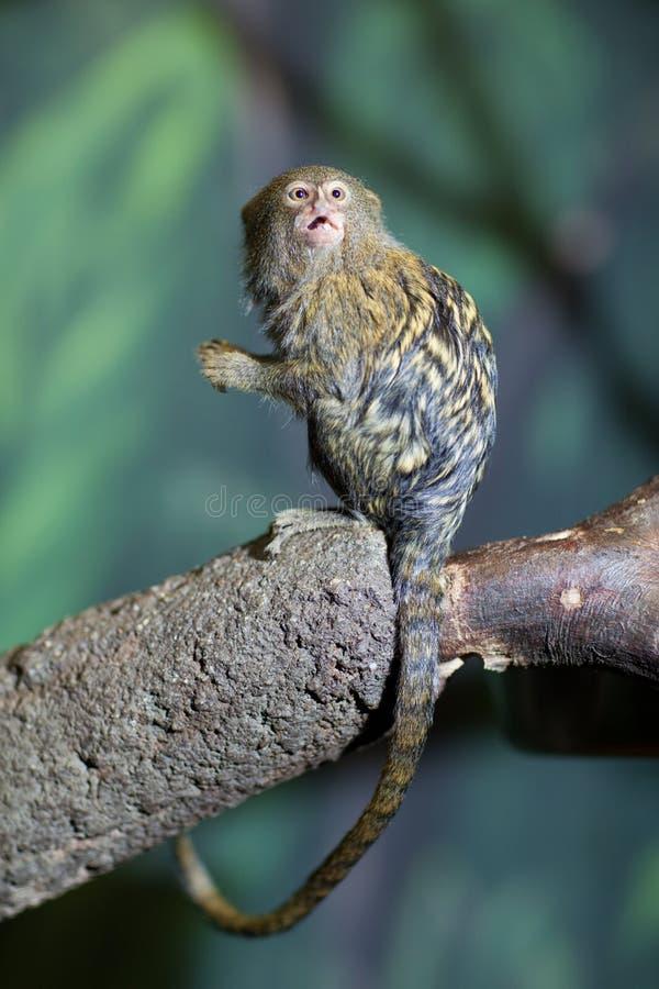 marmoset enano muy lindo imagen de archivo libre de regalías