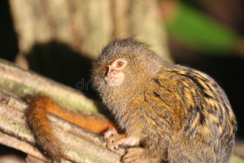 Marmoset enano (pygmaea del Callithrix) fotografía de archivo