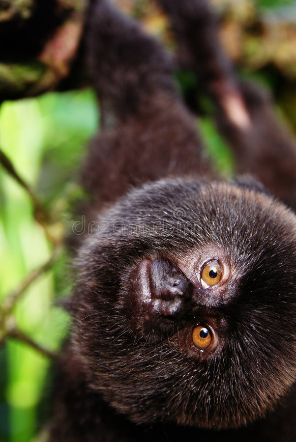 Marmoset monkey stock image