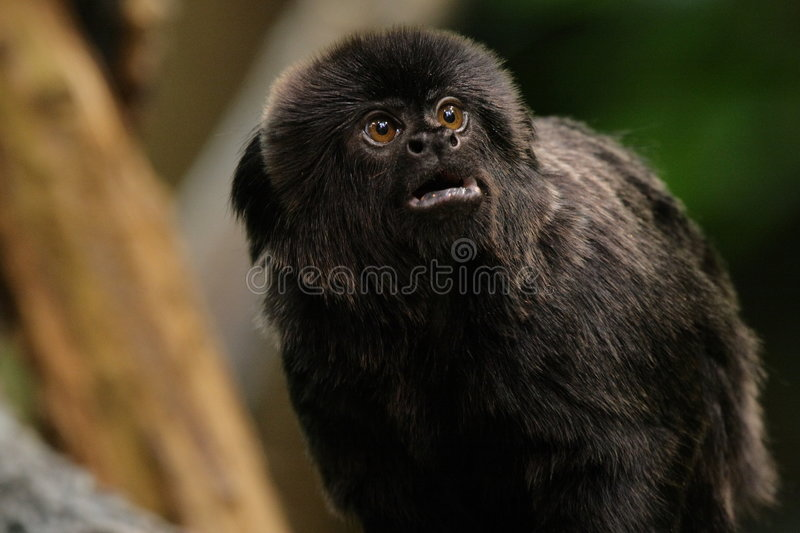 Marmoset monkey stock images