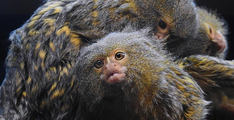 Marmoset monkey being intently groomed by another marmoset royalty free stock photography