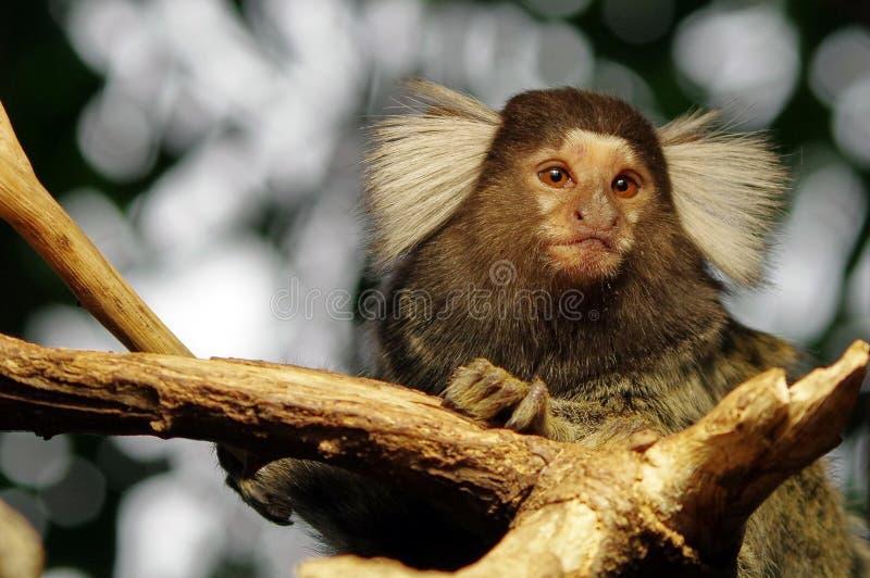 Portrait of Marmoset monkey stock images