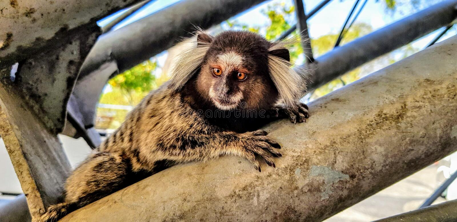 Sagui or Marmoset monkey royalty free stock photography