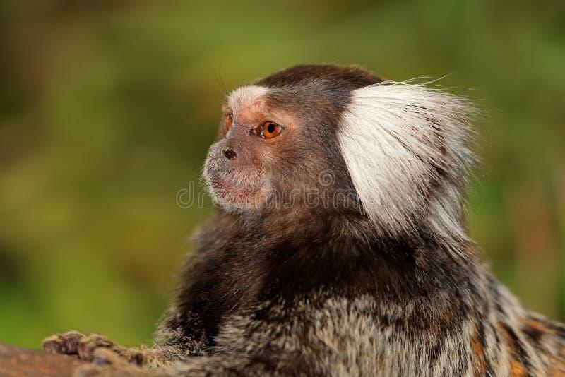 Marmoset monkey portrait royalty free stock photos