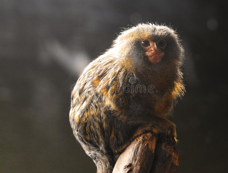 Marmoset monkey sitting serenely on a tree stump in the sunlight royalty free stock images