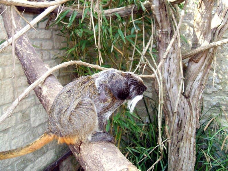 Marmoset. monkey. A small animal primate in a zoo or safari park, England. Monkeys are haplorrhine (dry-nosed) primates stock photo