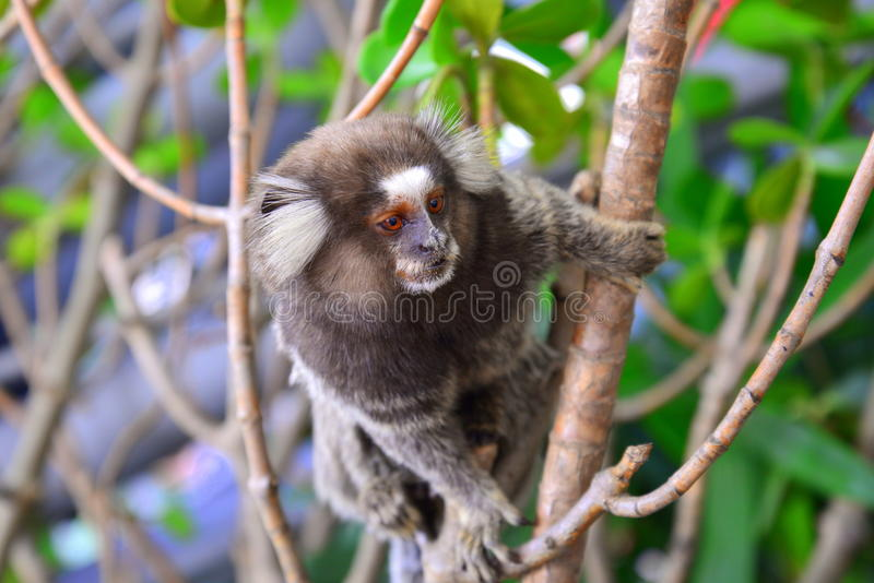 Marmoset monkey royalty free stock photography