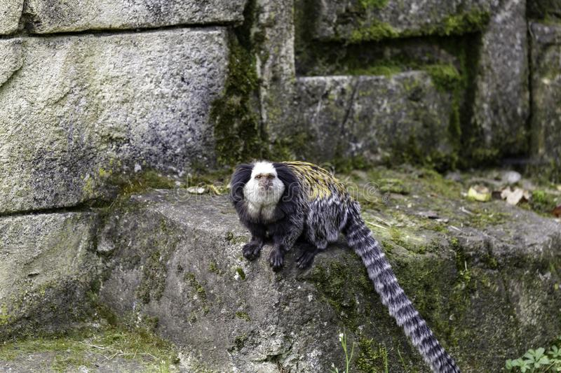 Marmoset White-headed imagem de stock