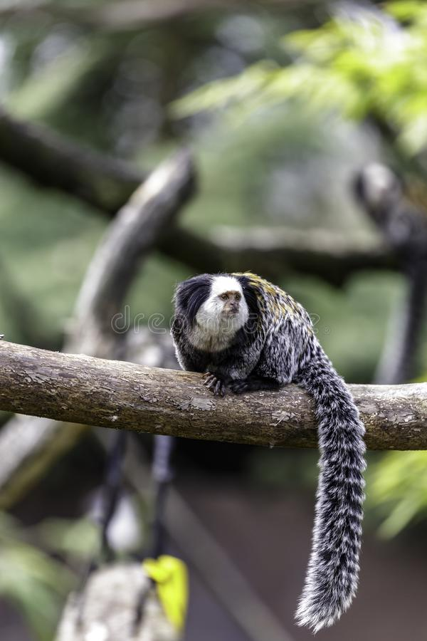 Marmoset White-headed imagens de stock royalty free