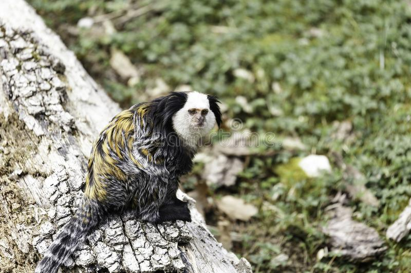 Marmoset White-headed imagem de stock royalty free