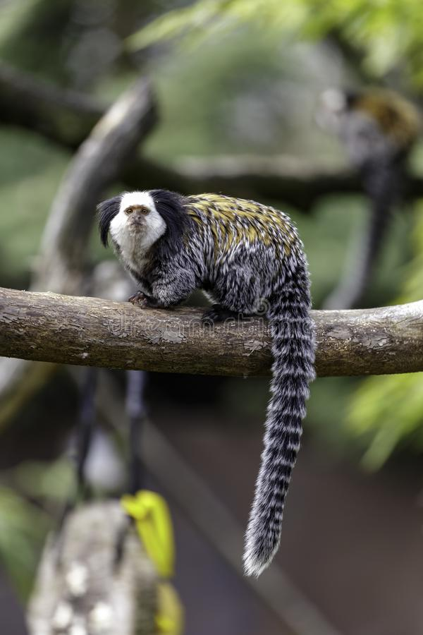 Marmoset White-headed foto de stock royalty free