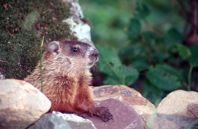 Download Marmot 1 stock image. Image of griffe, quebec, stairing - 3180487