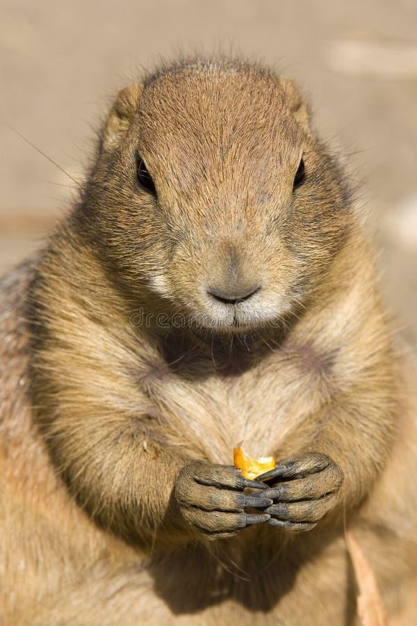 Download Marmot stock image. Image of funy, wildlife, marmot, animal - 10981995