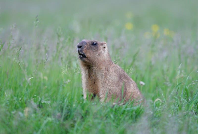 Download Marmot stock photo. Image of color, image, prairie, animal - 14495080