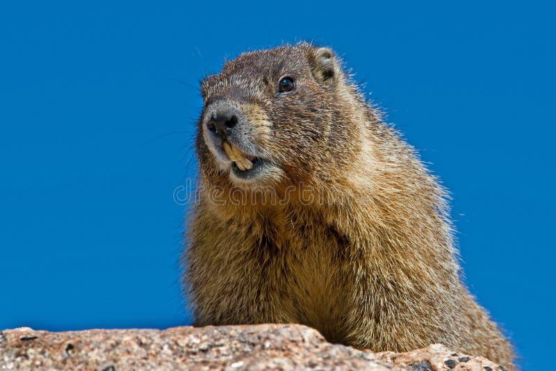 Download Marmot stock photo. Image of wilderness, evans, nature - 14860900