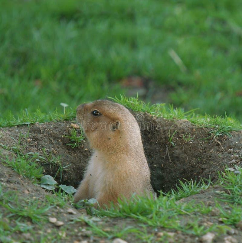 Free Marmot Stock Photo - 16723730