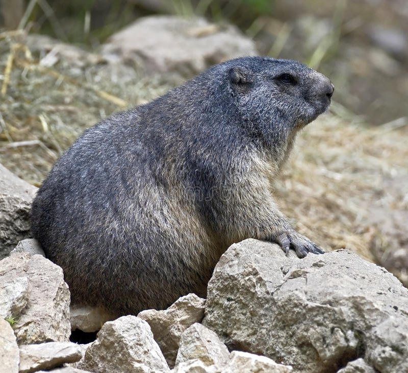 Download Marmot 2 stock photo. Image of cautious, environment - 26103288