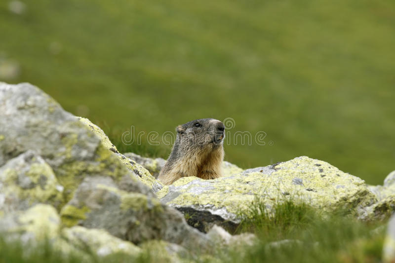 Download Marmot stock photo. Image of hole, wildlife, rodent, woodchuck - 20016694