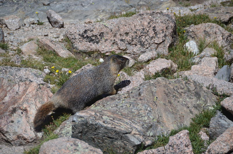 Download Marmot stock image. Image of american, america, large - 20829099