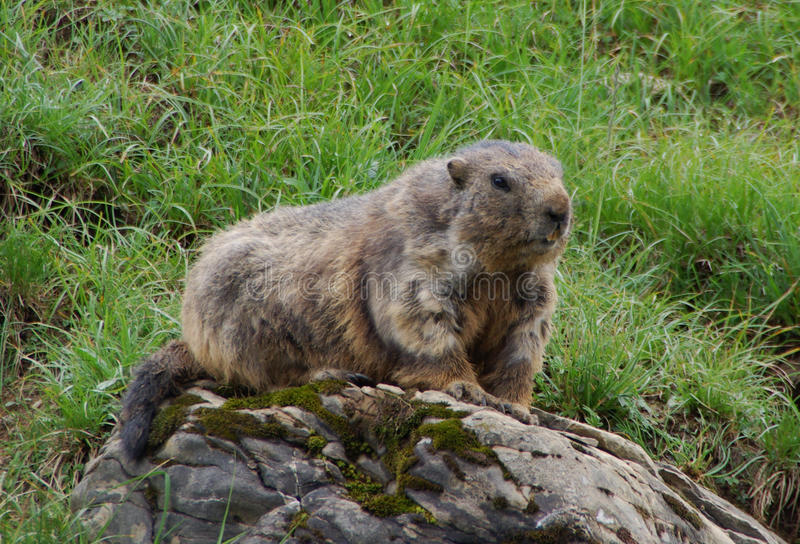 Download Marmot stock photo. Image of swiss, marmot, animal, alps - 22291748