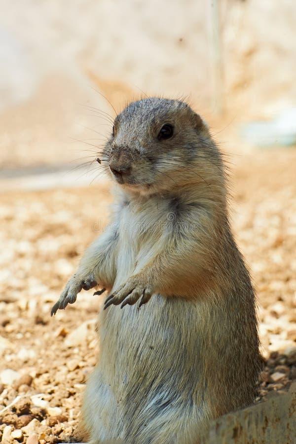 Free Marmot Stock Images - 22509364