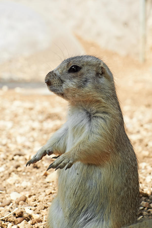 Download Marmot stock photo. Image of attention, alert, eyes, eating - 22850336