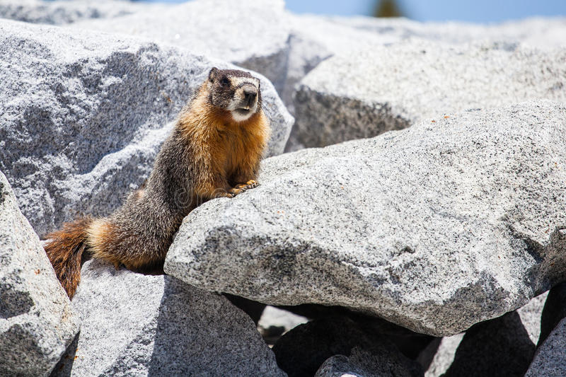 Download Marmot stock photo. Image of stone, marmot, looking, small - 25086088