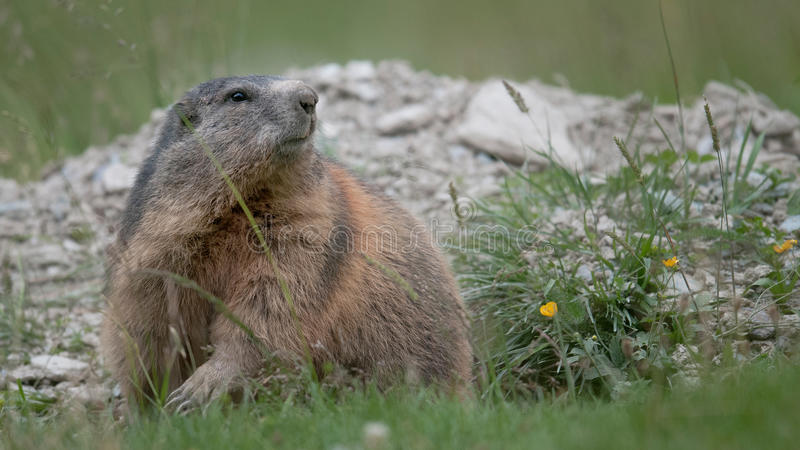 Download Marmot stock photo. Image of recycling, alert, furry - 27251678