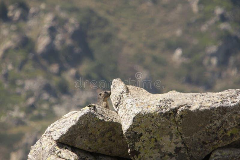 Marmot Royalty Free Stock Photography