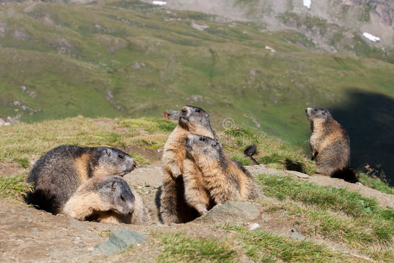 Download Marmot stock image. Image of mountain, furry, watchful - 28293751
