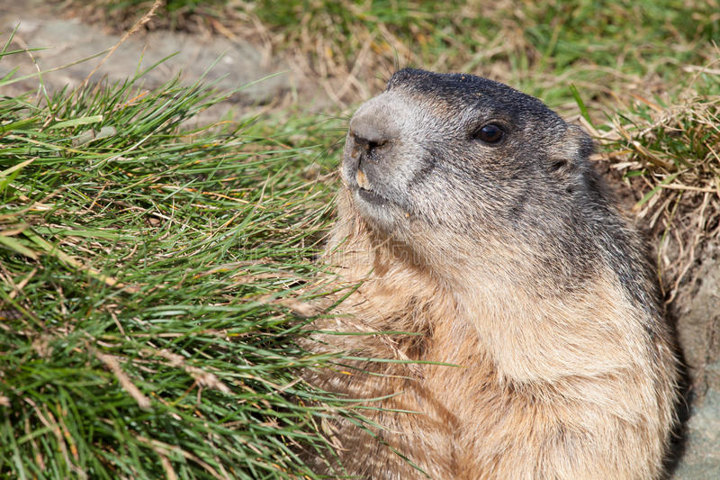 Download Marmot stock image. Image of fresh, green, standing, view - 28293775