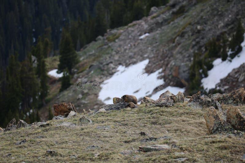 marmot стоковая фотография rf