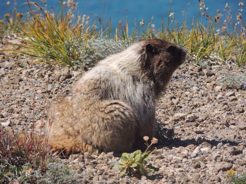 marmot imagenes de archivo