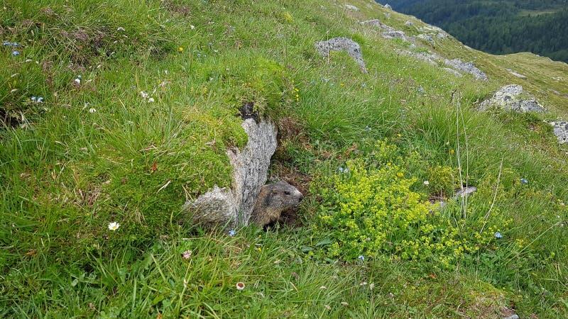 marmot стоковые фото