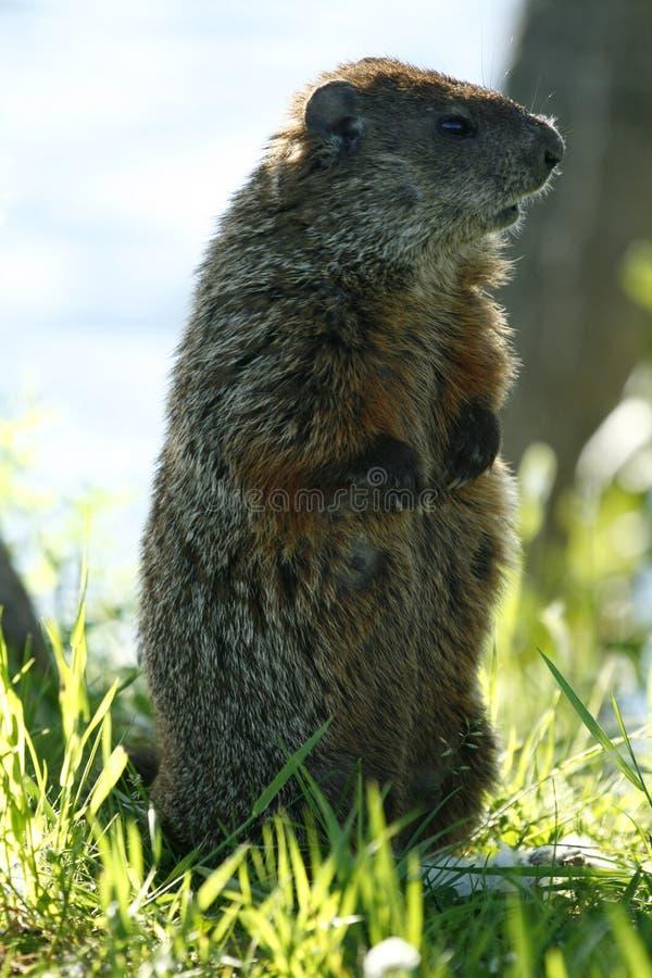 Marmot 8 royalty free stock photography