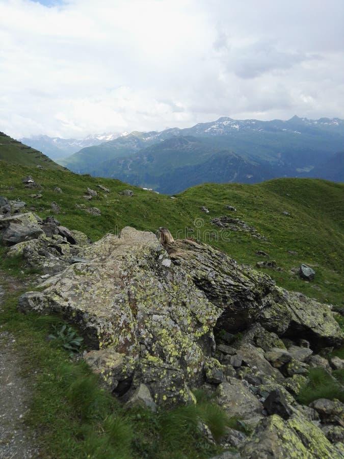 marmot стоковое изображение rf