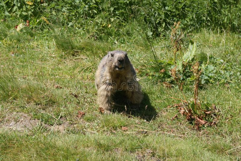 Inquisitive marmot charging the camera stock photography