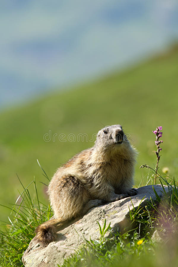 Download Marmot in the alps stock photo. Image of rodent, verdant - 15204826