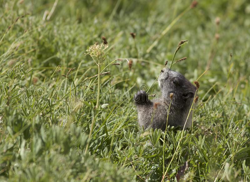 Marmot blanchi sur le Mt plus pluvieux images stock