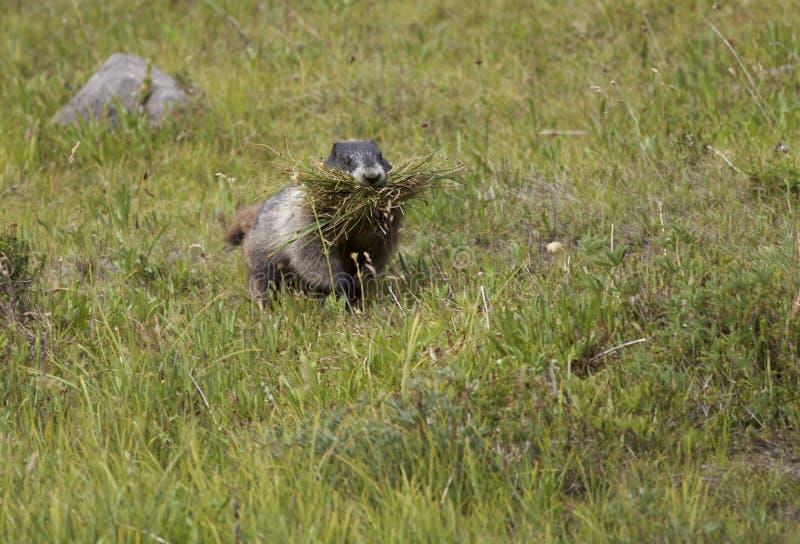 Marmot blanchi sur le Mt plus pluvieux photo libre de droits