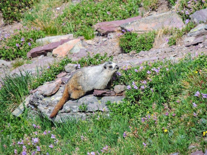Marmot blanchi sur un parc national Montana de glacier de roche photographie stock