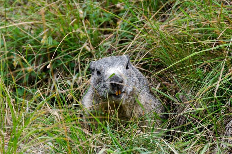 Marmot Dans Le Repaire Photos stock