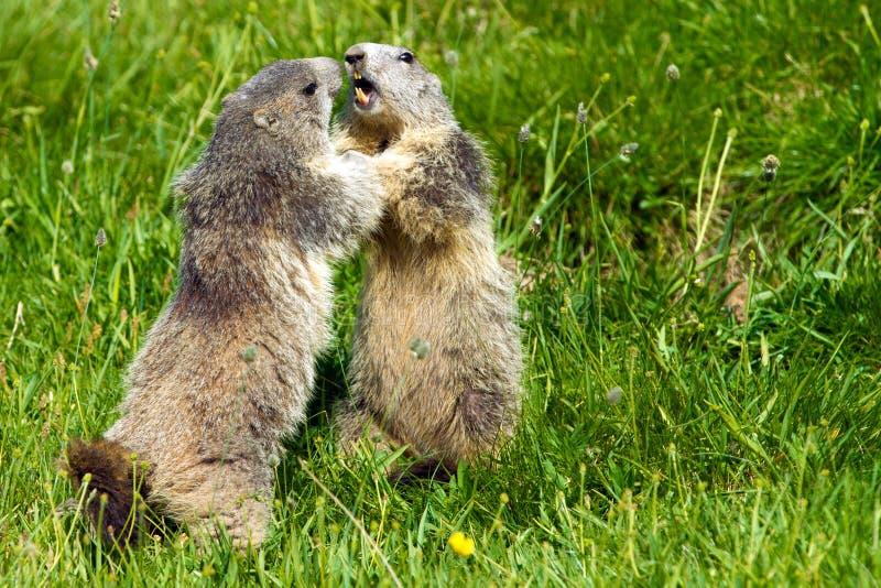 Marmot in de alpen stock foto