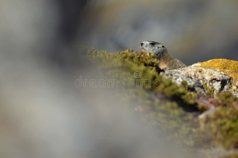 Marmot in de Franse alpen royalty-vrije stock foto's