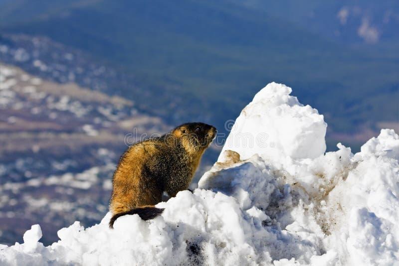Marmot die op de bovenkant van MT Evans wordt gezien royalty-vrije stock afbeelding