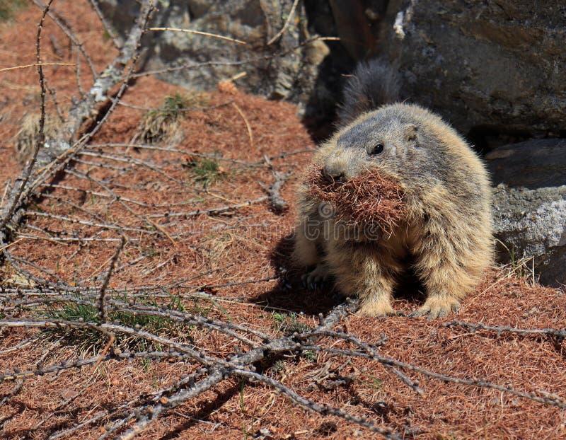 Marmot die pijnboomnaalden verzamelen stock afbeeldingen