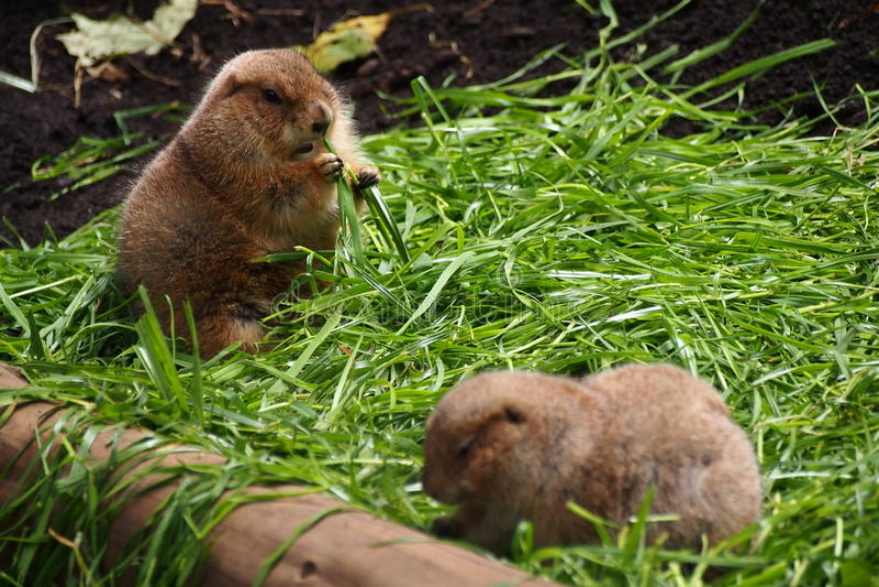 Marmot in Dierentuin royalty-vrije stock foto's