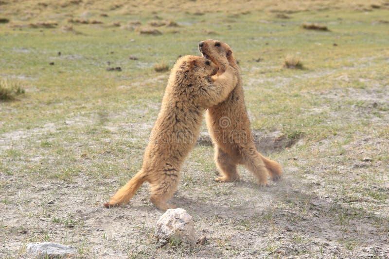 Marmot-4 imagens de stock royalty free